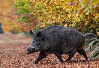 Wildschweinkeiler waehrend der Rauschzeit verfolgt eine Bache - (Schwarzwild) / Wild Boar tusker during the rut haunts a female Wild Boar - (European Boar - Wild Hog) / Sus scrofa